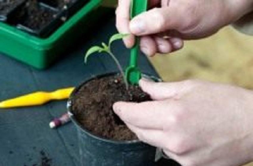 Как правильно использовать корневин при пикировке томатов