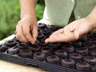 Как правильно посадить рассаду перца и помидор