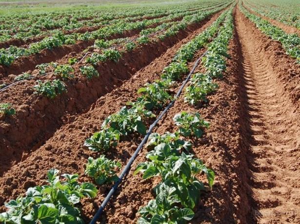 Как выращивать картошку по голландской технологии