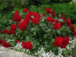 Лучшие сорта кустовых роз