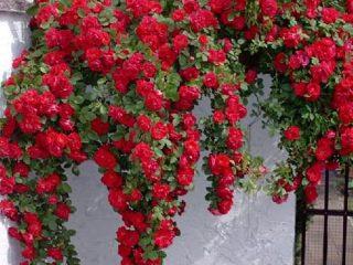 Плетистая роза не цветет: что делать