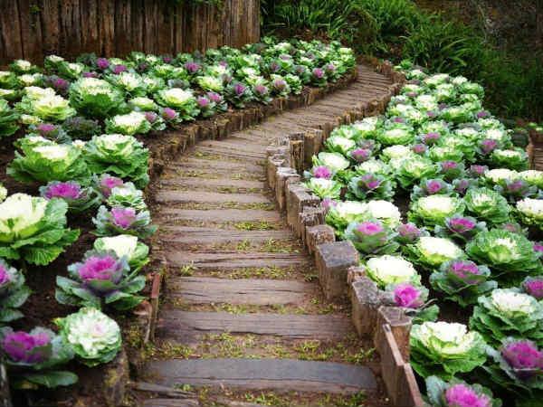 Капуста декоративная, посадка и уход. Выращивание декоративной капусты, сорта, посадка и уход