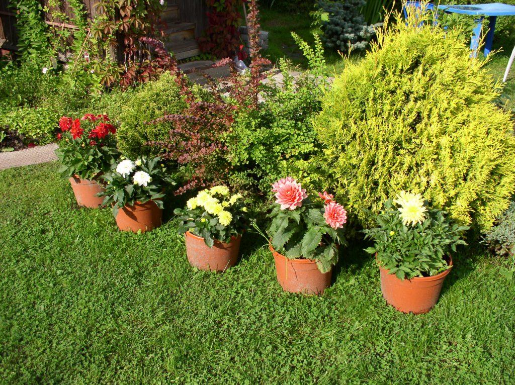 Можно ли выращивать георгины как комнатное растение
