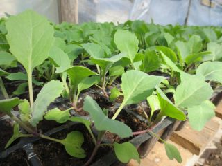 Благоприятные дни для посева капусты на рассаду