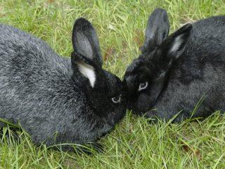 Породы кроликов для домашнего разведения: характеристики + фото