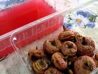 Чем обработать луковицы гладиолусов перед посадкой