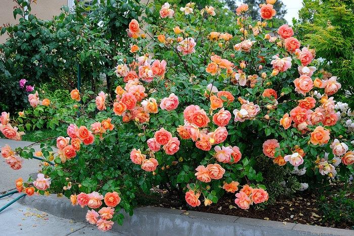 Роза английская выращивание и уход в 31
