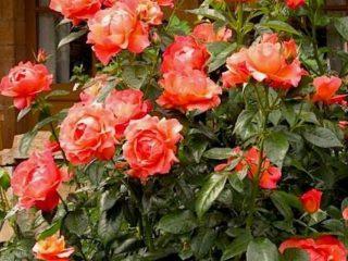 Названия роз Флорибунда: лучшие сорта