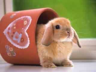 Декоративные кролики: уход, кормление и содержание