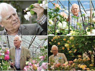Английские розы: сорта, фото, описание