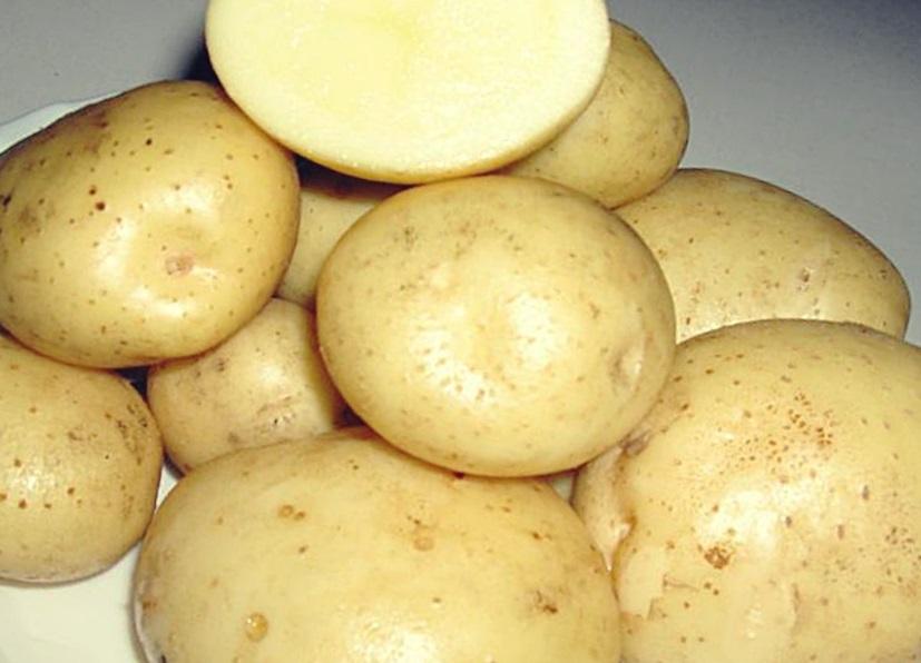 Картофель Сантэ описание и выращивание