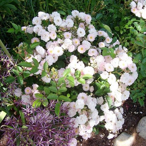 Китайская роза садовая многолетняя: описание   фото