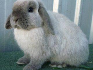 Вислоухий кролик декоративный: уход и содержание