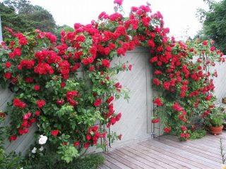 Плетистая (вьющаяся) роза: посадка и уход, опора
