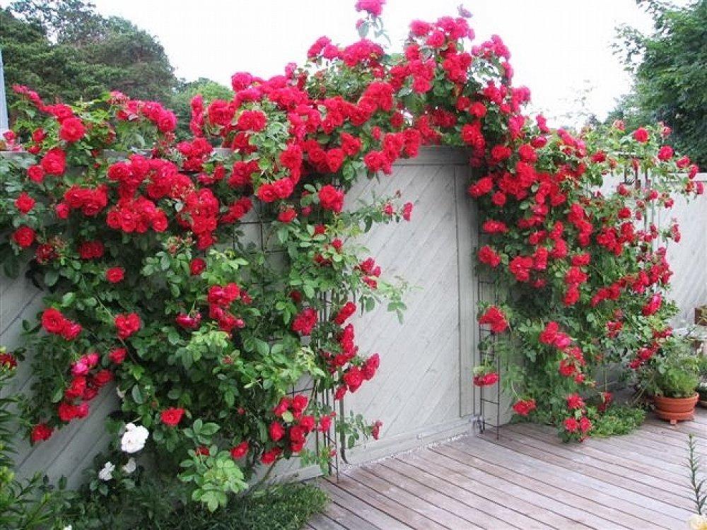 Правила посадки и выращивания плетистых роз