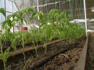 Когда высаживать томаты в теплицу в Сибири