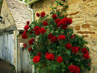 Плетистые розы, цветущие все лето — зимостойкие сорта