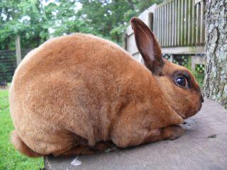 Кролики породы Рекс: карликовые, большие