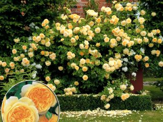 Английские розы в дизайне сада + фото