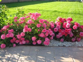 Роза почвопокровная: посадка и уход + фото