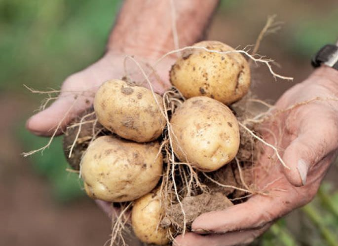 мира, картофель голубизна описание сорта фото почему