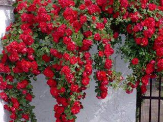 Роза плетистая Симпатия: посадка и уход