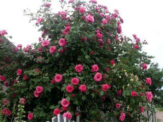 Роза плетистая Парад: посадка и уход