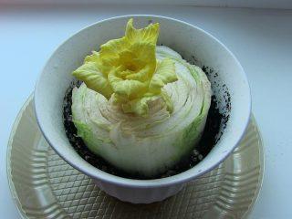 Пекинская капуста из кочерыжки: выращивание дома