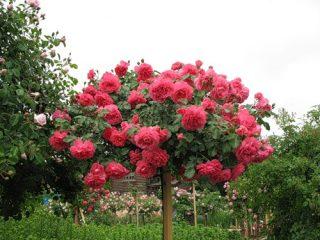 Плетистая роза Розариум Ютерсен: посадка и уход