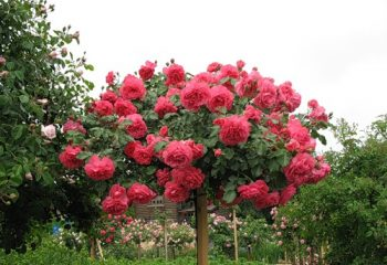 Роза почвопокровная