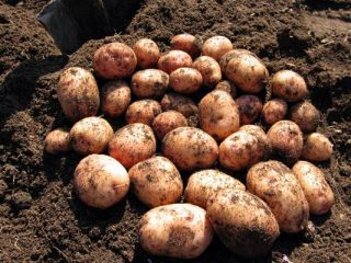Сорт картофеля Аврора: характеристика