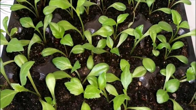 Георгина Кактусовидная выращивание из семян
