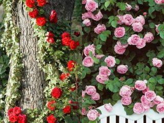 Розы: виды и сорта для российских садов