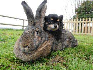 Кролики Фландр: разведение и содержание в домашних условиях