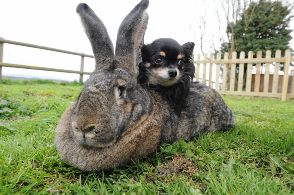 этом смотреть картинки кроликов гигантов что
