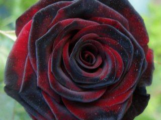 Чайно-гибридные розы: фото и названия