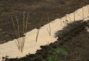 Ремонтантная малина выращивание и уход