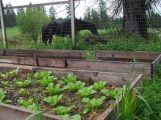 Как и когда сажать пекинскую капусту в открытый грунт