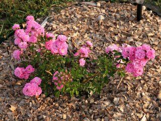 Садовые розы: посадка, уход, размножение, болезни