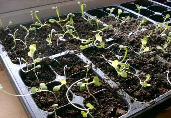 Проблемы с рассадой баклажанов и пути их решения 41