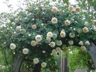 Роза шраб Клэр Остин: посадка и уход