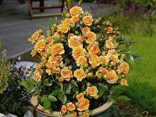 Лучшие сорта миниатюрных роз