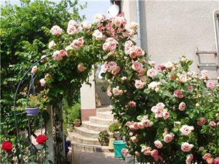 Шпалера и арки для плетистых роз своими руками