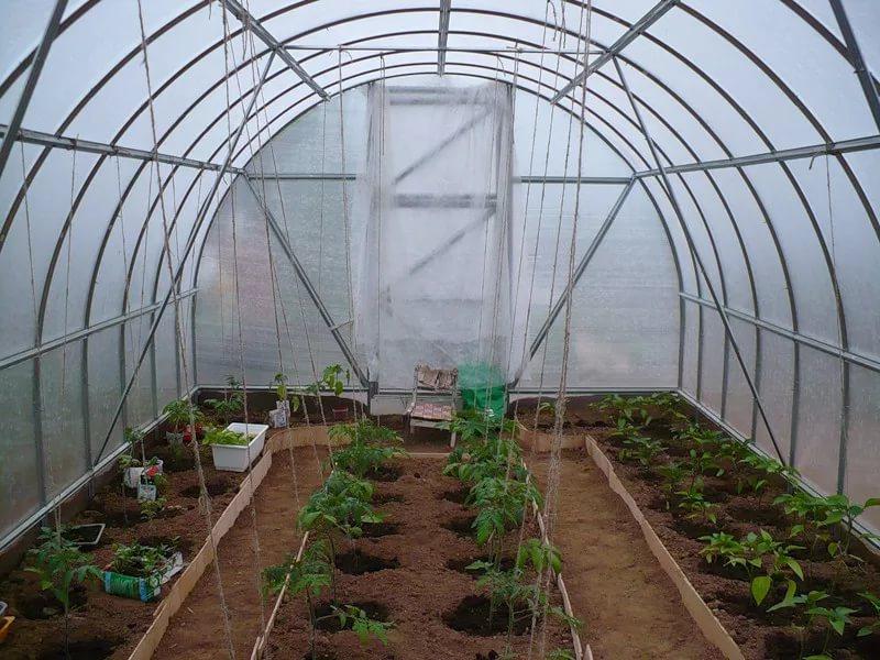Как правильно садить в теплице помидоры