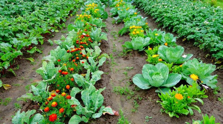 Тюльпаны в горшке в домашних условиях: выращивание, выгонка 21