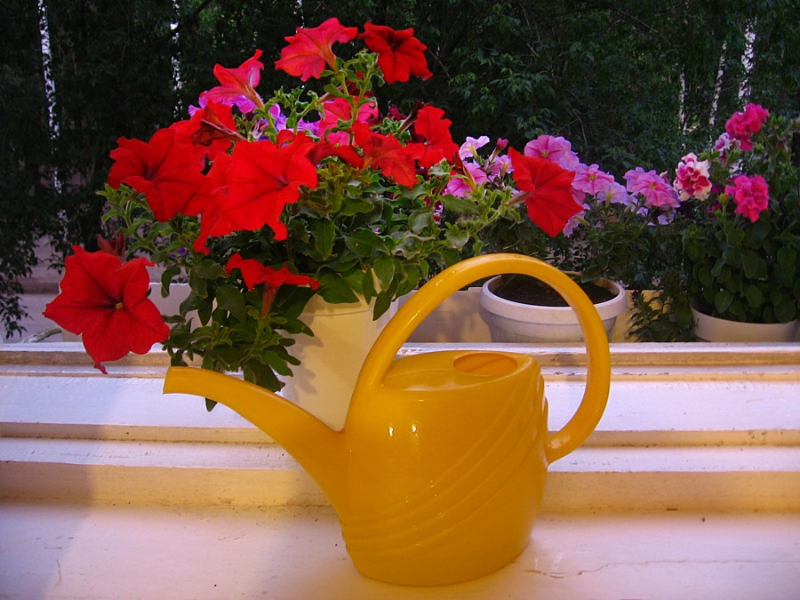 Чем подкормить петунию для роста и цветения народными средствами