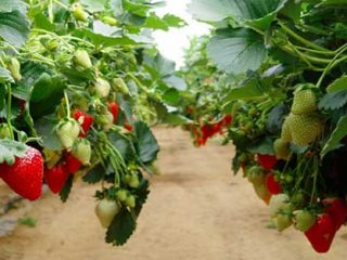 Лучший способ выращивания клубники