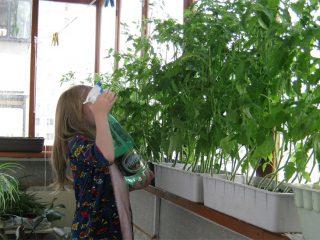Опрыскивание томатов мочевиной, суперфосфатом, атлетом, настоем чеснока