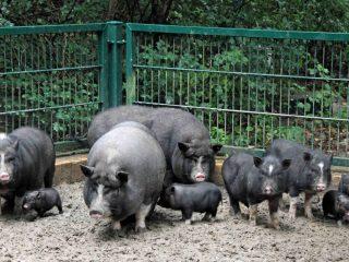 Вьетнамская вислобрюхая свинья: выращивание, опорос