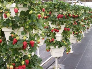 Выращивание клубники в кашпо